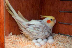 cuantos huevos pone una ninfa,Cuantos huevos ponen las ninfas