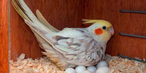 cuantos huevos pone una ninfa cacatúa carolina