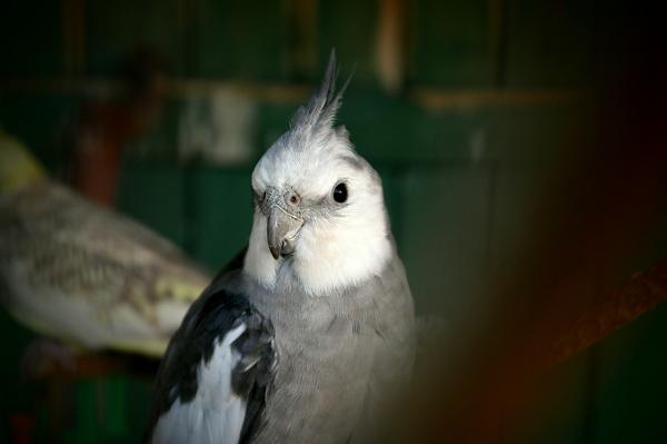 carolina cara blanca ninfa cacatua cockatiel