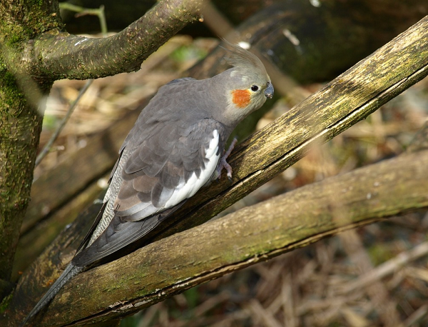 ninfa gris ancestral cacatua carolina  cockatiel