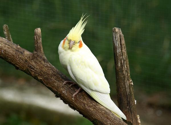 pájaro carolina lutina cacatua ninfa cockatiel
