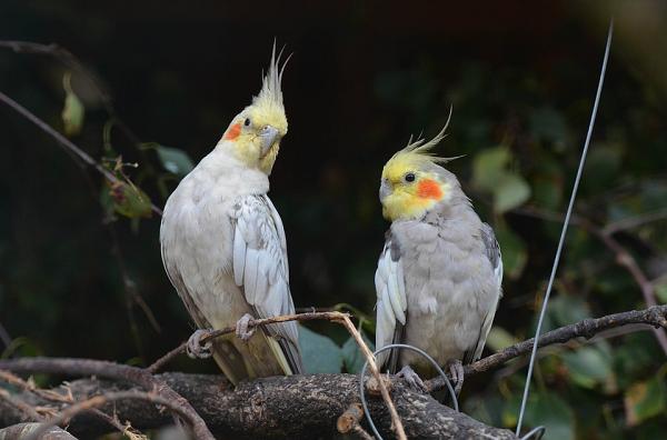 pareja de ninfas cacatua pajaro carolina ave ninfa perlada
