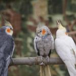 Tipos de ninfas papilleras mutaciones ninfa carolina cockatiel